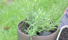 How To Harvest Herbs – Lemongrass Rosemary Mint